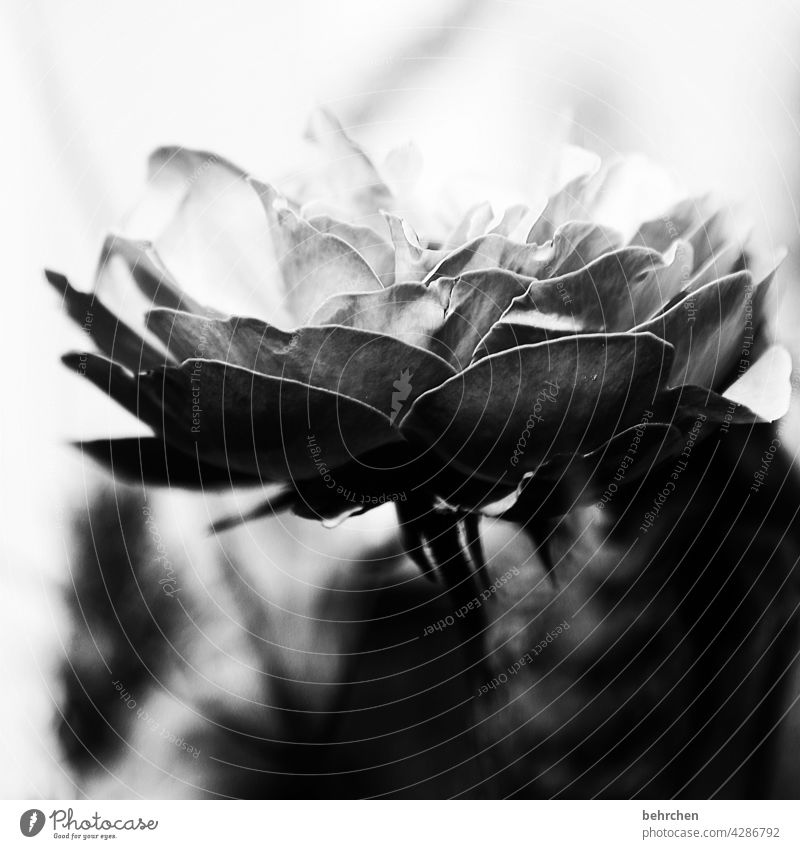 licht und schatten Tod Vergänglichkeit Hoffnung Glaube Abschied melancholisch melancholie Schwarzweißfoto edel elegant Sorge Natur Pflanze Blume Rose Blatt