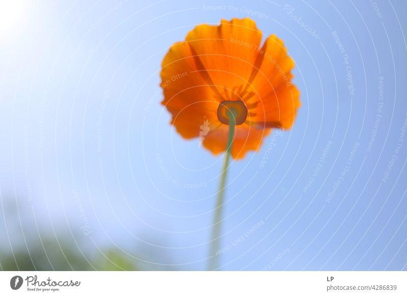 Hintergrund mit orangefarbenen Welpen gegen den blauen Himmel Feld feminin Wärme fest Hoffnung Freiheit Kontrast Low Key geheimnisvoll träumen Gefühle Ruhe