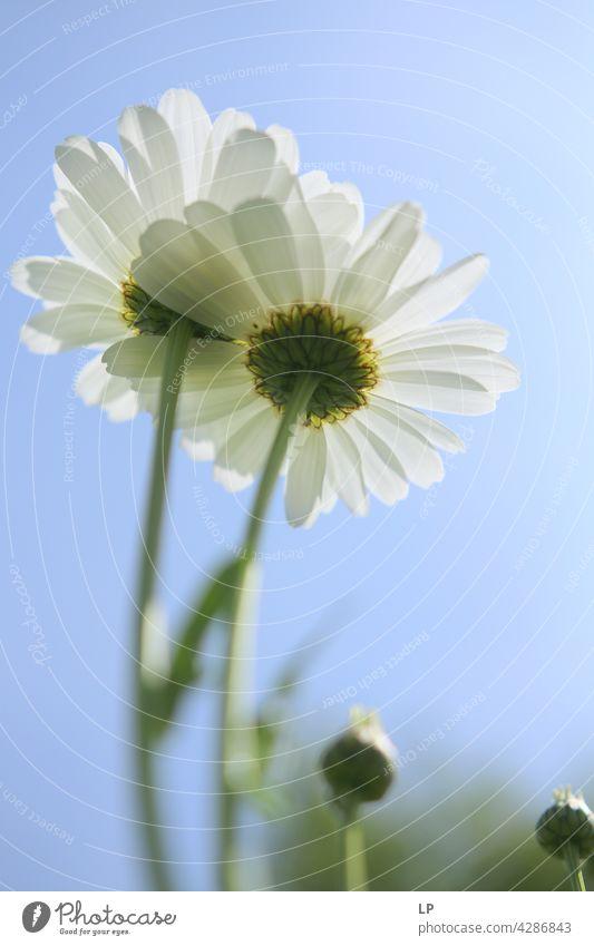 Hintergrund von weißen Gänseblümchen Himmel Feld feminin Wärme fest Hoffnung Freiheit Kontrast geheimnisvoll träumen Gefühle Ruhe ruhig Sinnesorgane