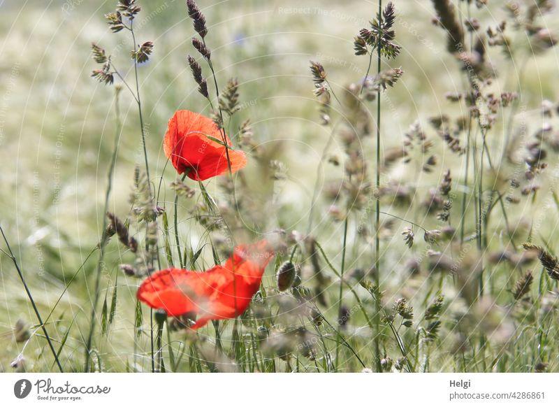 Mo(h)ntag - zwei blühende Mohnblumen und Knospen zwischen Gräsern im Gerstenfeld Mohnblüte Blume Blüte Gras Feld Kornfeld Getreide Getreidefeld Sommer Blühen