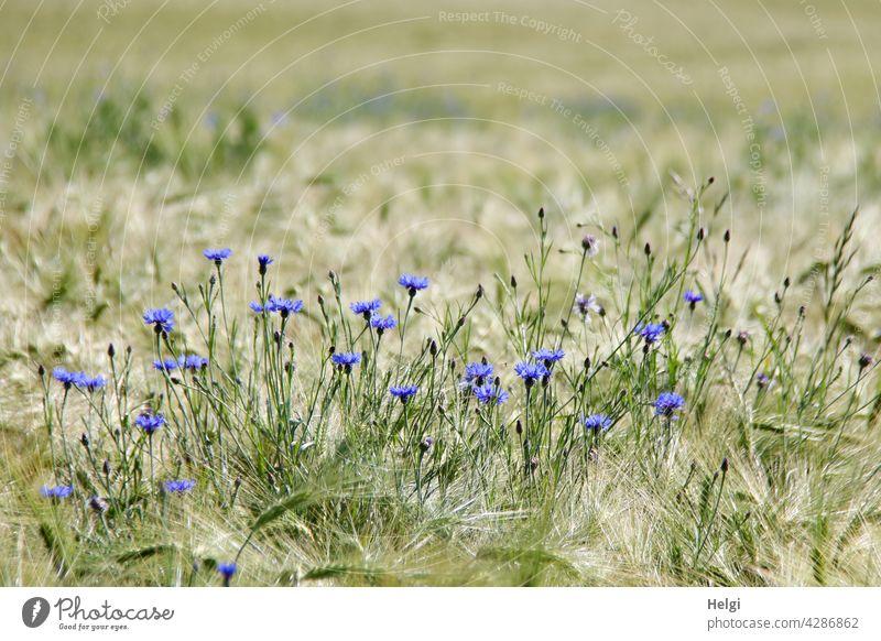 Blühende Kornblumen in einem Gerstenfeld Kornfeld Blume Blüte Getreide Getreidefeld Wachsen Frühling Landschaft Natur Umwelt Landwirtschaft Feld Außenaufnahme