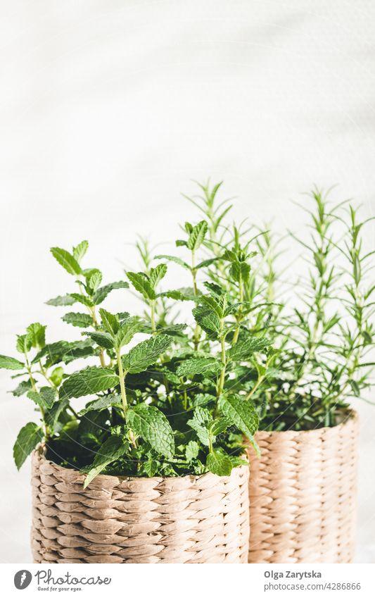 Minze- und Rosmarinkräuter in gestrickten Töpfen. Topf frisch Kraut stricken grün Pflanze Gesundheit organisch natürlich Tisch Licht weiß Raum für Text