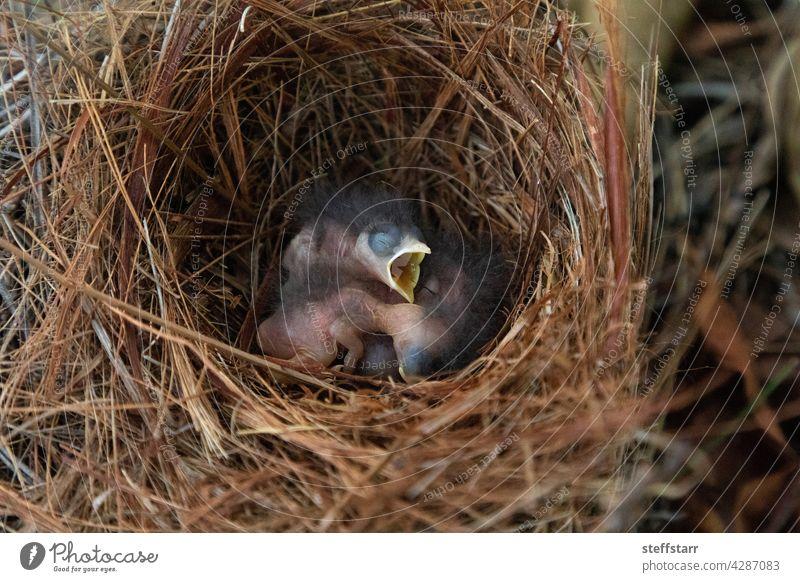 Schlüpfender heller Bläuling Sialia sialis in einem Nest Baby winzig kleiner Vogel Küken hungrig Blaukehlchen Drossel Rotkehl-Hüttensänger blau Federn Baum