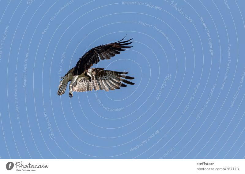 Flying Fischadler Pandion haliaetus Vogel mit gespreizten Flügeln und Krallen aus gegen einen blauen Himmel Seefahrer Greifvogel fliegen Flügelspannweite
