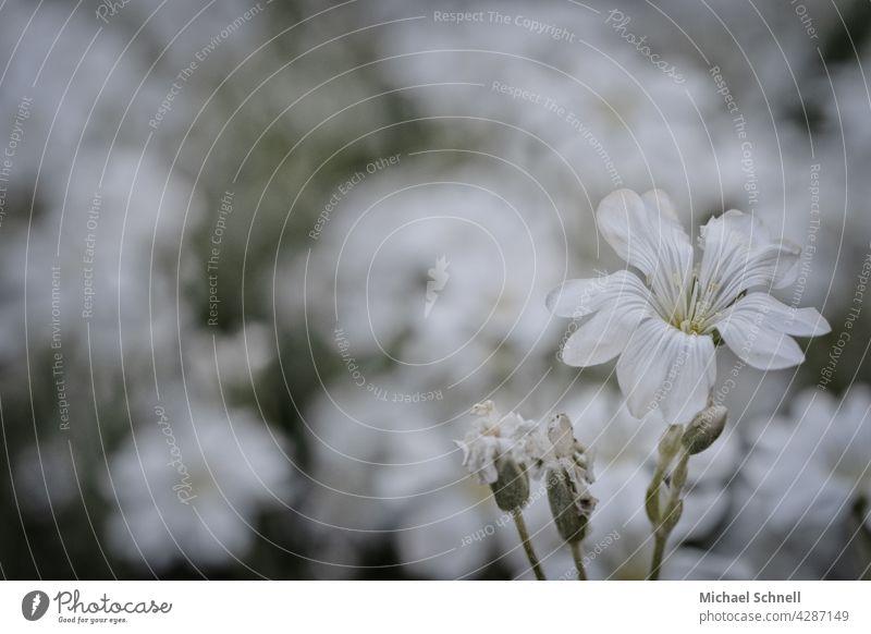 Weiße Blume weiß weißer Hintergrund weiße blüten weiße blumen Natur Blüte Frühling Unschärfe blühen blühend Frühlingstag erblühen Frühlingsgefühl zart vorne