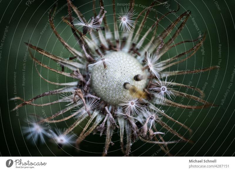Löwenzahn: Pusteblume pusteblumen Leichtigkeit leicht verblühen verwelken verwelkt Ende Samen Pflanze Schwache Tiefenschärfe Detailaufnahme Makroaufnahme zart