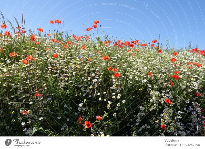 Mohn und Kamille Klatschmohn mohnblüte klatschmohnblüte mohnblüten klatschmohnblüten sommer himmel freiraum textfreiraum blau natur rot blume blumen papaver