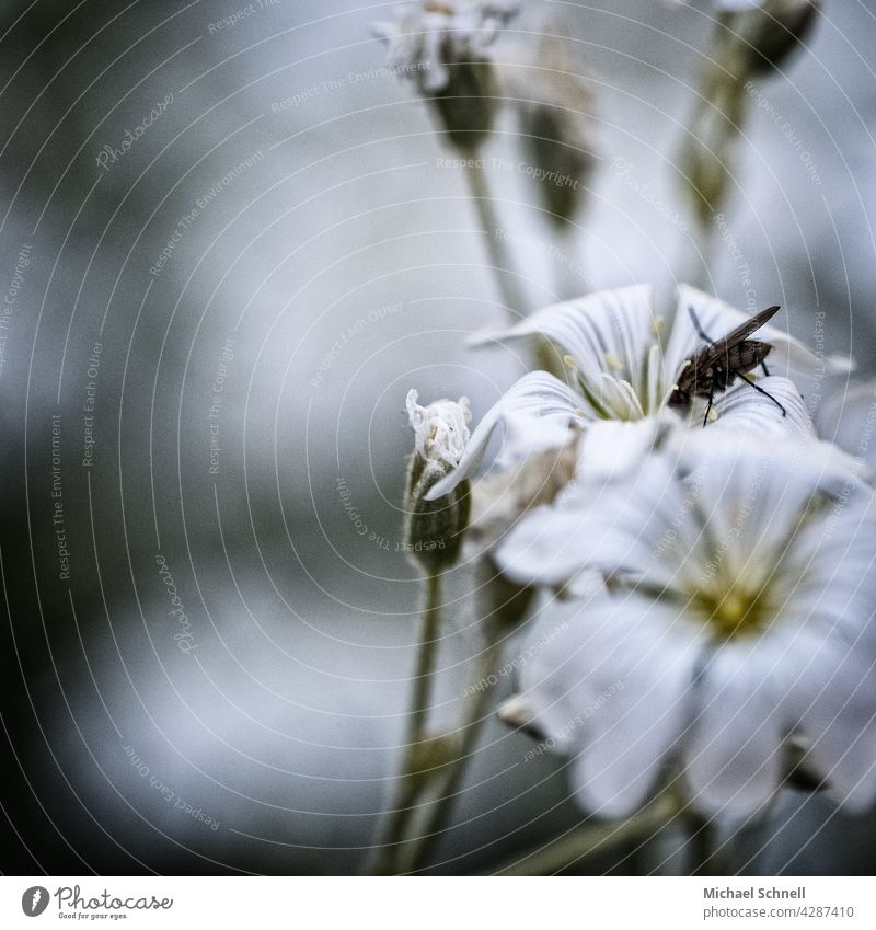 Fliege an einer weißen Blüte Nektar Blume saugen Insekt Tier Flügel Makroaufnahme Ernährung Nahaufnahme Pflanze hinein
