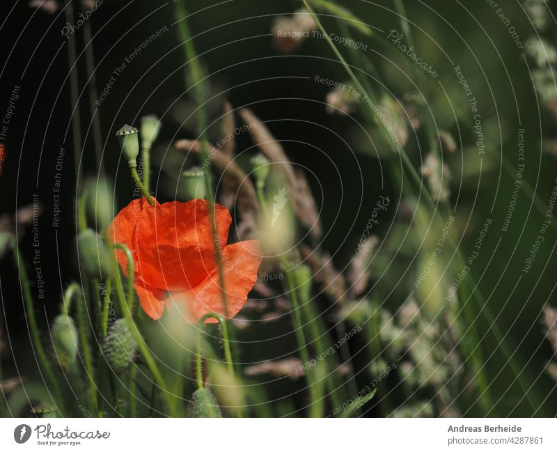 Nahaufnahme von einem Feld von Mohnblumen, schönen Sommer Hintergrund rot Blume Natur Blumen grün Pflanze Frühling Gras Schönheit Blüte wild Blütenblatt Garten
