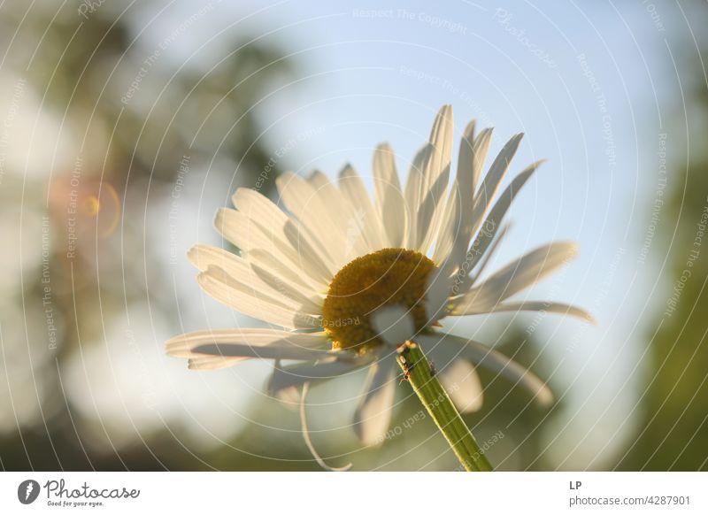 Hintergrund von weißen Gänseblümchen Himmel Feld feminin Wärme fest Hoffnung Freiheit Kontrast Low Key geheimnisvoll träumen Gefühle Ruhe ruhig Windstille