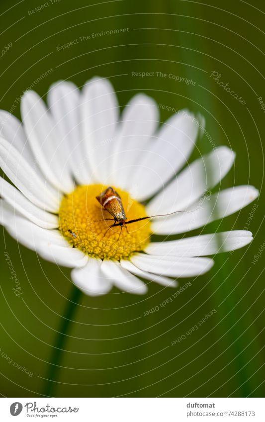 Kleiner Käfer sitzt auf Margareten Blüte Blume Pflanze blühen Natur Garten Blütenstempel grün Insekt Margarite Schwache Tiefenschärfe Blühend Nahaufnahme