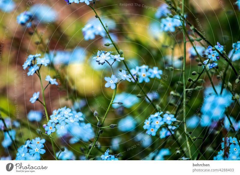 lieblingsblümchen Nahaufnahme Detailaufnahme Tag Licht Wärme zart sommerlich blau Natur Pflanze Frühling Schönes Wetter Vergißmeinnicht Wildpflanze Sommer Blüte