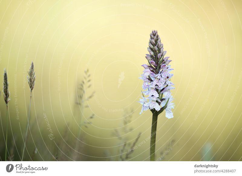 Geflecktes Knabenkraut, Dactylorhiza maculata mit einem hellgelben Hintergrund Natur Blume Textfreiraum Orchidee ohne Menschen Wildblume Sommer Frühling