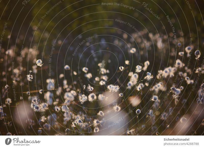 Wollgras Wollgraswiese Wollgräser Moor Natur Außenaufnahme Menschenleer Gras Pflanze Wildpflanze Sumpf Sträucher ruhig