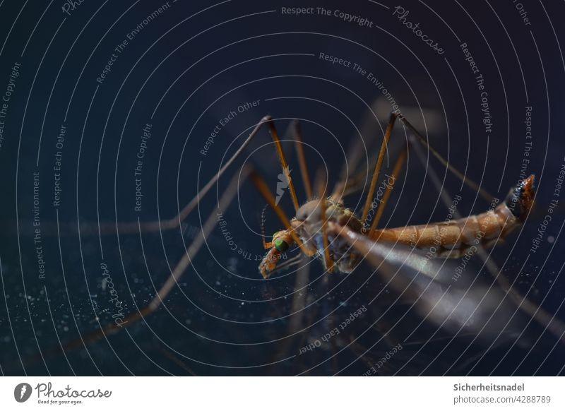 Nahaufnahme Schnake Makroaufnahme makrofotografie Schuster Insekt Detailaufnahme Menschenleer Natur Außenaufnahme Farbfoto