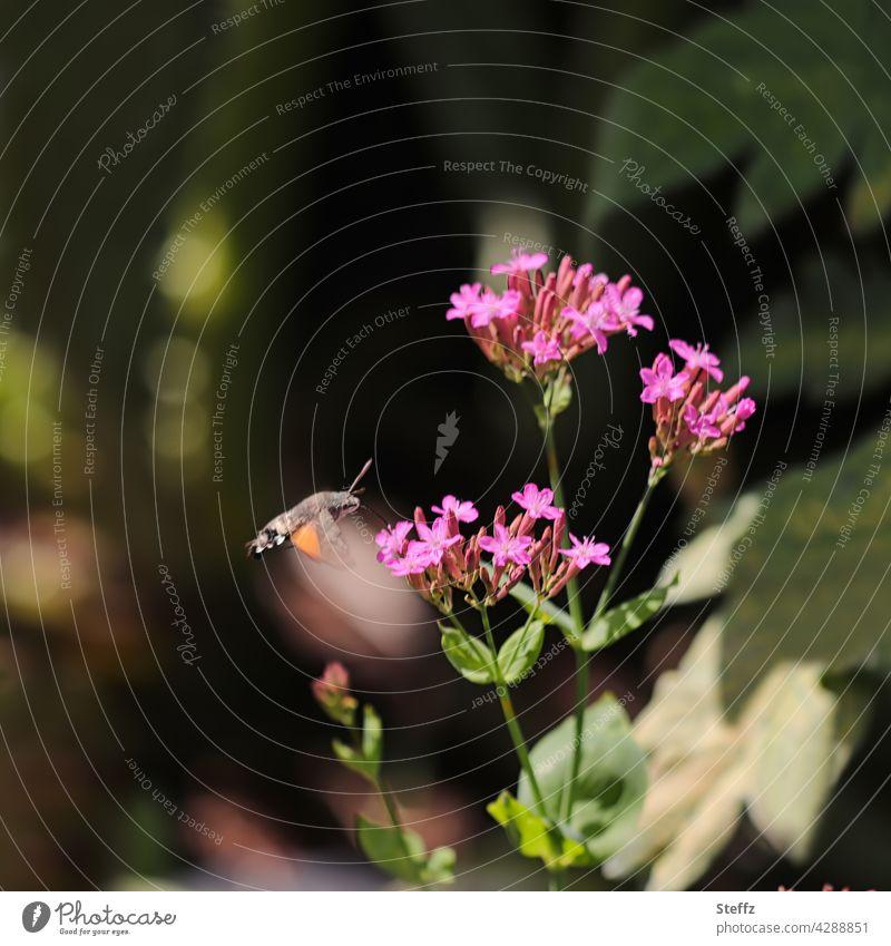 ein Taubenschwänzchen auf Nektarsuche Nachtfalter Taubenschwanz Karpfenschwanz tagaktiv Macroglossum stellatarum Wanderfalter Kolibrischwärmer Schmetterling