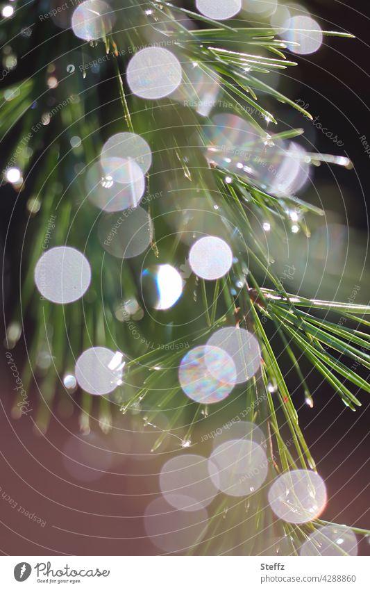 eine Waldkiefer im Lichtregen Kiefer Kiefernnadeln Regen Regentropfen Lichtreflexe Lichtspiegelung Nadelbaumzweig aromatisch Zweig hydrophob natürlich