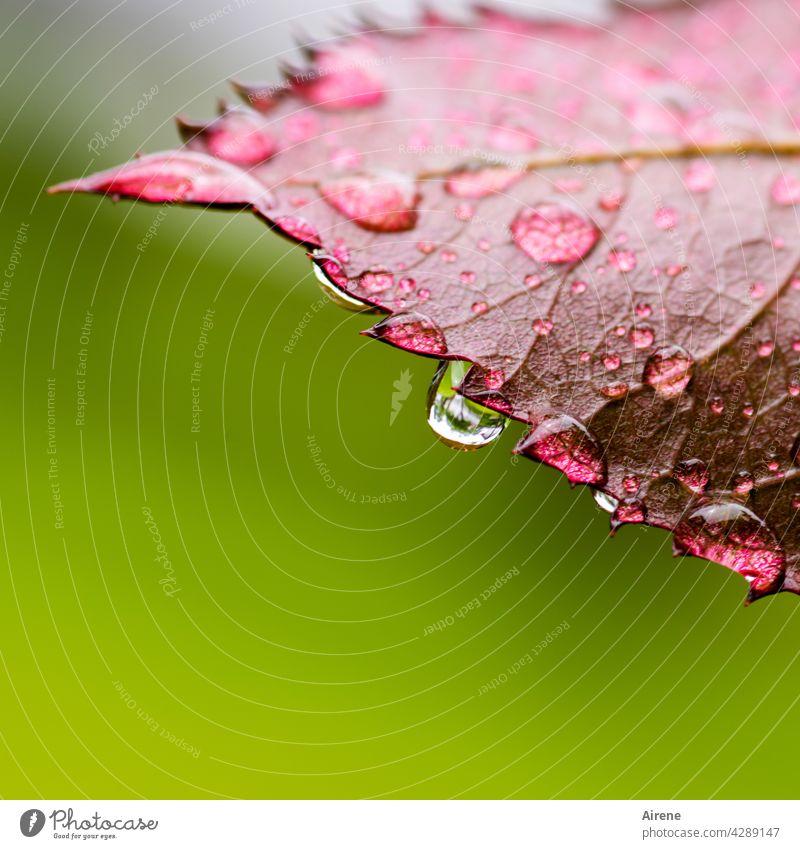 Kühlwasser auf Sägeblatt Blatt Wassertropfen Tropfen Regen frisch nass grün natürlich glänzend rot Garten rein leuchten ästhetisch Zacken Trauer fallen