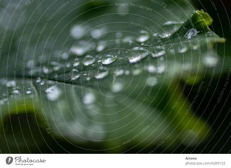 bedröppelt grün Wassertropfen Blatt frisch Tropfen nass glänzend natürlich Regen Grünpflanze rein Reinheit Wetter ästhetisch Garten Urelemente Muster dunkel