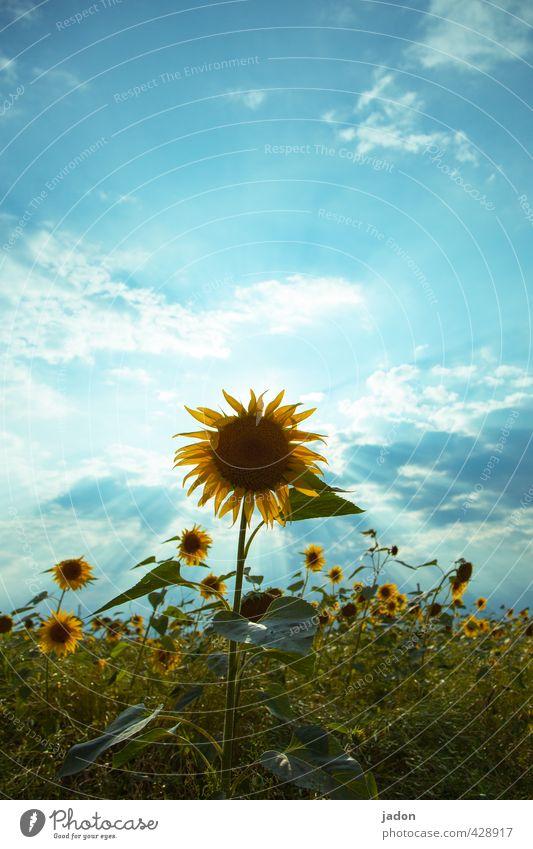 wochenend und sonnenschein. Natur Landschaft Pflanze Himmel Wolken Sonnenlicht Sommer Blume Feld heiß blau gelb grün Perspektive Umwelt Sonnenblume Wachstum