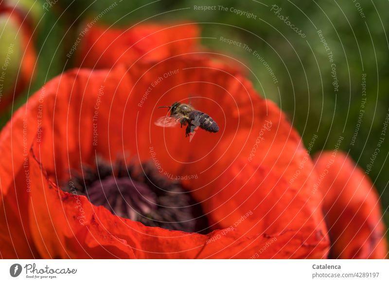 Montag für fleißige Bienchen Natur Flora Fauna Tier Insekt Biene Honigbiene fliege Pollen Pflanze Klatschmohn Mohn Blüte Blütenblatt blühen Sommer