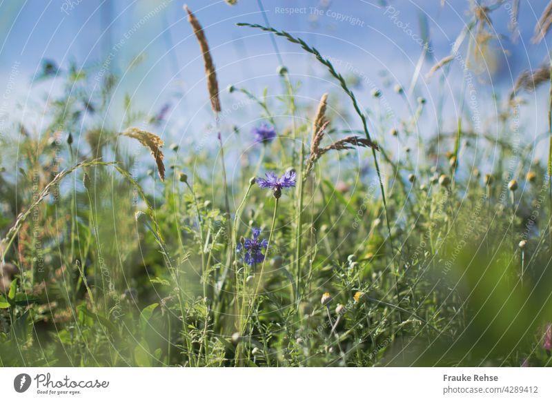 Kornblumen und Gräser im Sonnenlicht vor blauem Himmel violett grün Sommerwiese blauer Himmel wiegen im Wind Gras Wiese Feldrand Natur braun beige Ähren