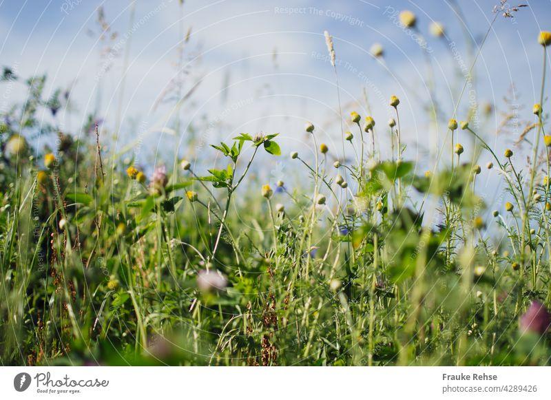 Blumenwiese im Sonnenlicht vor blauem Himmel Knospen Margeriten Klee Blüten Kornblume violett Gräser grün Sommerwiese blauer Himmel Gras Wiese Feldrand Natur