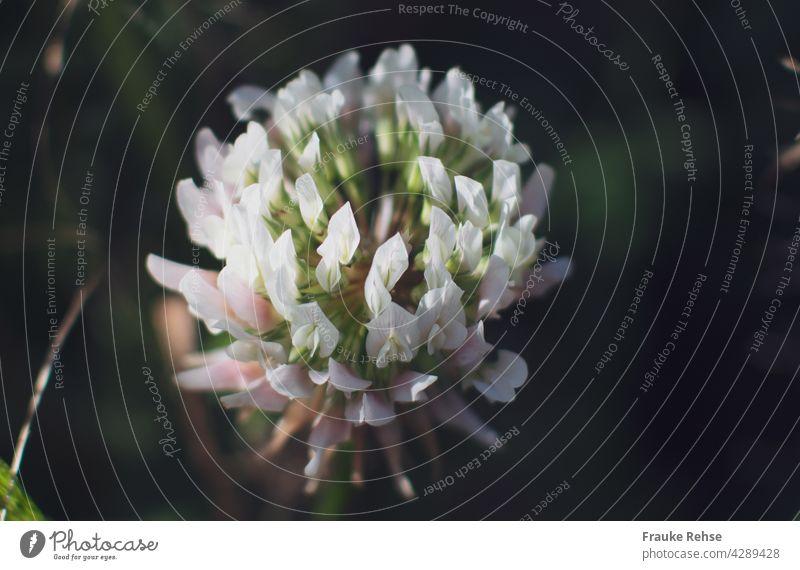 Nahaufnahme einer Weißkleeblüte im Sonnenlicht Blüte weiß rosa grün Pflanze Nutzpflanze Sommer Spaziergang mitnehmen leuchten Schönheit Nahrungsquelle