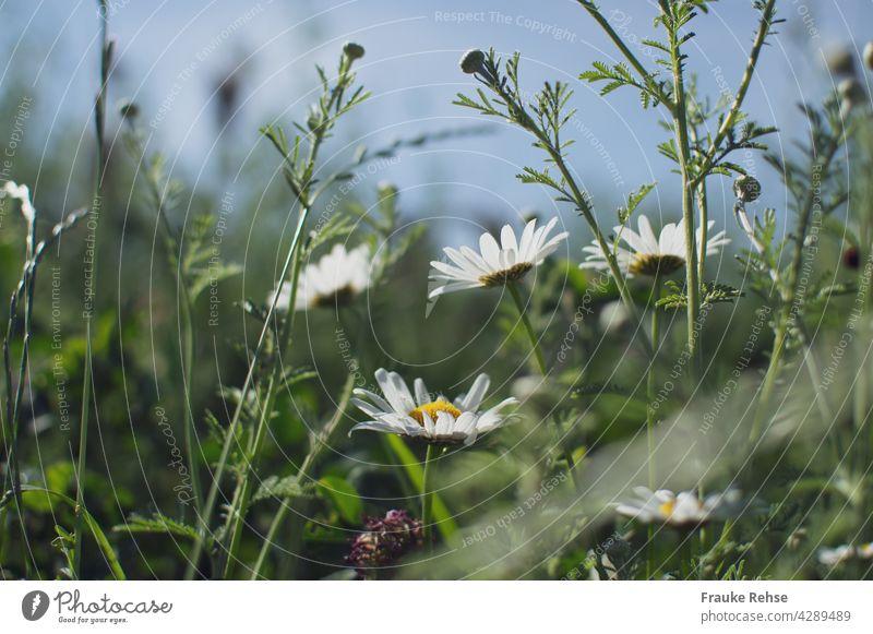 Margeriten - Blüten und Knospen im Sonnenlicht vor blauem Himmel weiß gelb grün Sommerwiese blauer Himmel Gras Wiese Feldrand Natur Unschärfe Spaziergang pur