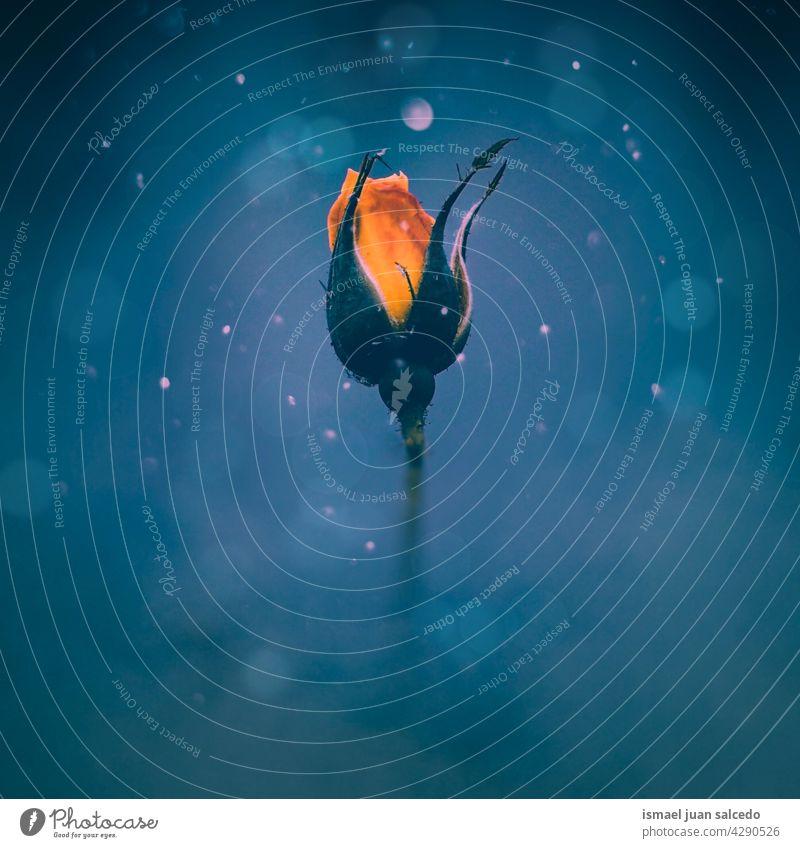romantische gelbe Blume für Valentinstag Roséwein rot Blütenblätter Pflanze Garten geblümt Flora Natur dekorativ Dekoration & Verzierung Liebe Schönheit