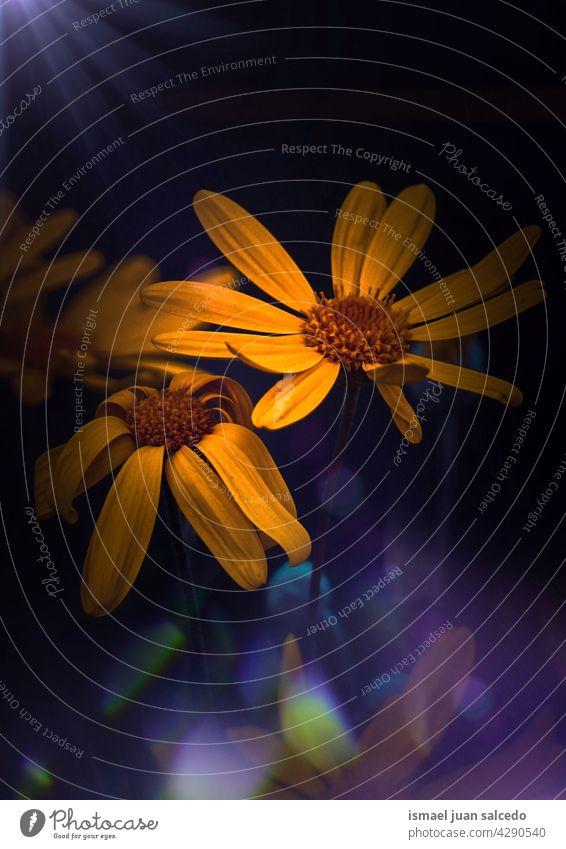 romantische gelbe Gänseblümchen Blume im Garten im Frühling Blütenblätter Pflanze geblümt Flora Natur dekorativ Dekoration & Verzierung Schönheit
