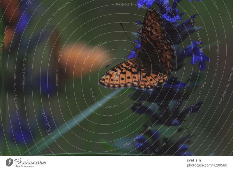 Schmetterling auf einer Blume Nahaufnahme im Freien. Ein orange-schwarzer Schmetterling trinkt Nektar von einer blauen Blume an einem sonnigen Sommertag. Früher Perlmutterfalter, Silberfleck-Perlmuttfalter, Veilchen-Perlmutterfalter. Kriechender Günsel.