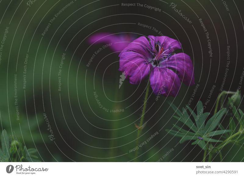 Geranium sanguineum, Blut-Storchschnabel, Blutroter Storchschnabel. Dunkelrosa leuchtende blutige Geranium-Blüte in Nahaufnahme im Freien auf grünem Hintergrund. Platz zum Kopieren.