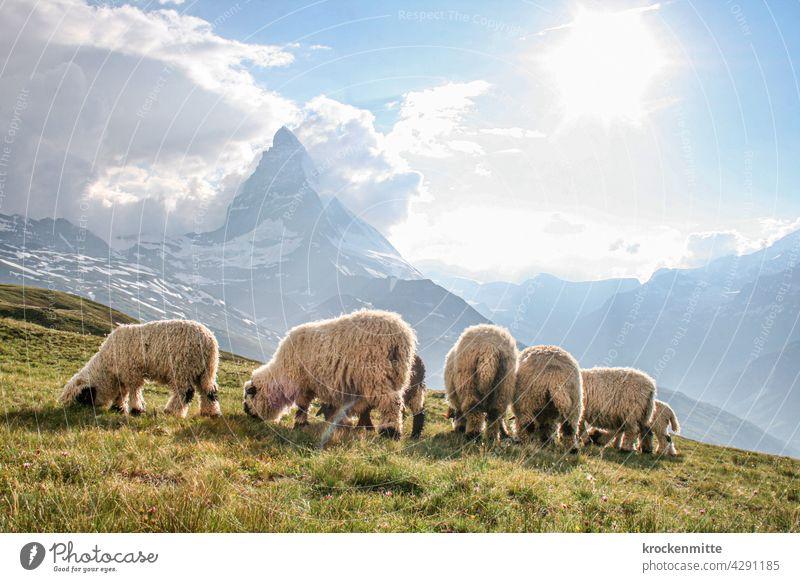 Schafherde weidet vor dem Matterhorn in der Schweiz Sonnenstrahlen Lichterscheinung Silhouette Kanton Wallis wandern Tiergruppe Schneebedeckte Gipfel Nutztier