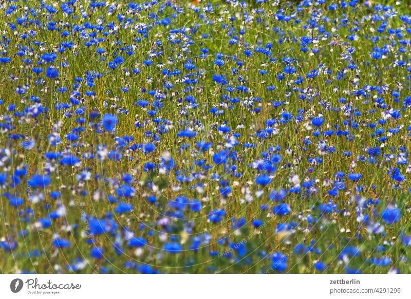 Wiese mit Kornblumen acker blau blaue blume feld frühjahr frühling kornblume lichtung natur romantik romantisch sommer wachstum wiese wild wildwiese