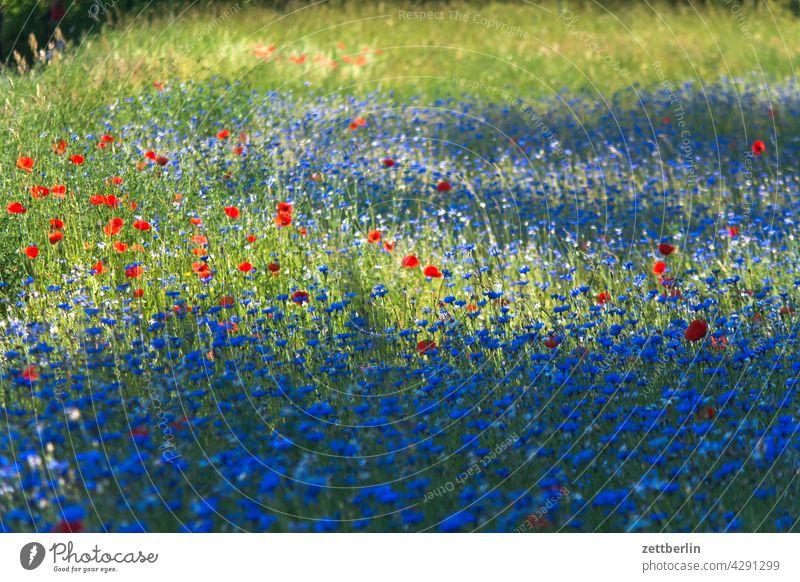 Wiese mit Kornblumen und Mohn acker blau blaue blume feld frühjahr frühling kornblume lichtung natur romantik romantisch sommer wachstum wiese wild wildwiese
