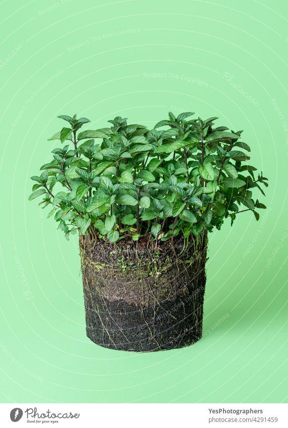 Minze Pflanze Wachstum in den Boden. Topfpflanze isoliert auf einem grünen Hintergrund. Frühling Ackerbau Biologie schwarz Botanik Konzept kultivieren