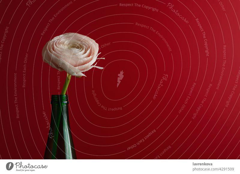 Weiß und Ranunkel Blume in einer grünen Flasche Hahnenfuß (Ranunculus asiaticus) Blumen botanisch Blütenblätter Flora Minimalismus Sommer Blütenblatt romantisch