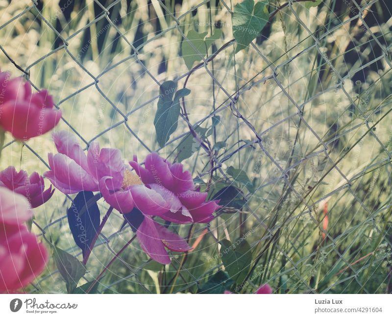 Pfingstrosen, pinkfarben im Abendsonnenschein, dahinter Maschendrahtzaun Pfingstrosenblüten Abendlicht Sommerlicht Sonnenschein Frühsommer hell schön Ranken