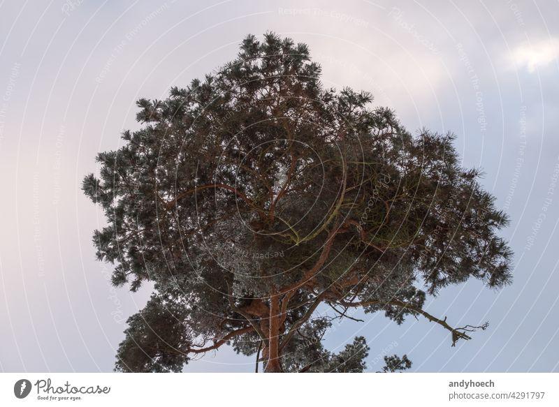 Das Vordach eines Nadelbaums unter einem bewölkten Himmel lebend Atmosphäre schön Ast Cloud Wolken Wolkenlandschaft wolkig Konifere nadelhaltig Nadelbäume Tag