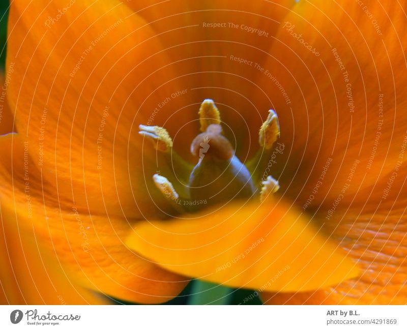 Fäustling orange bluete Makro Ornithogalum umbellatum stern von bethlehem milchstern pflanze Fahne