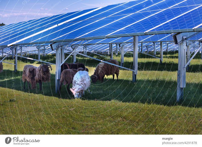 Schafe grasen unter einer Solaranlage Wiese Solarzelle Herde Natur Solarenergie solar energy Erneuerbare Energie Energiewirtschaft Sonnenenergie Photovoltaik