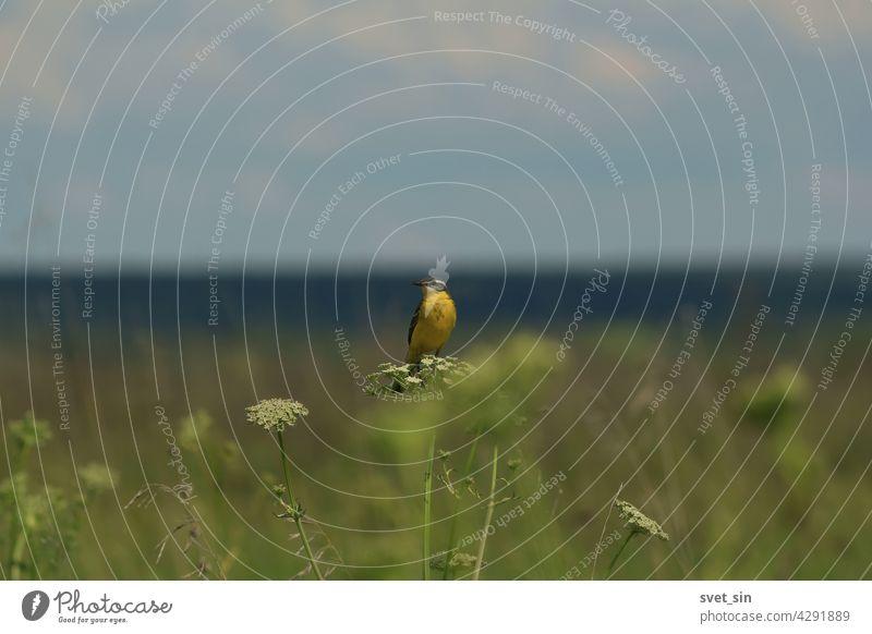 Schafstelze, Motacilla flava. Eine kleine gelbe Bachstelze Singvogel sitzt auf einem grünen Busch in der Mitte einer Wiese vor dem Hintergrund der blauen Waldstreifen.
