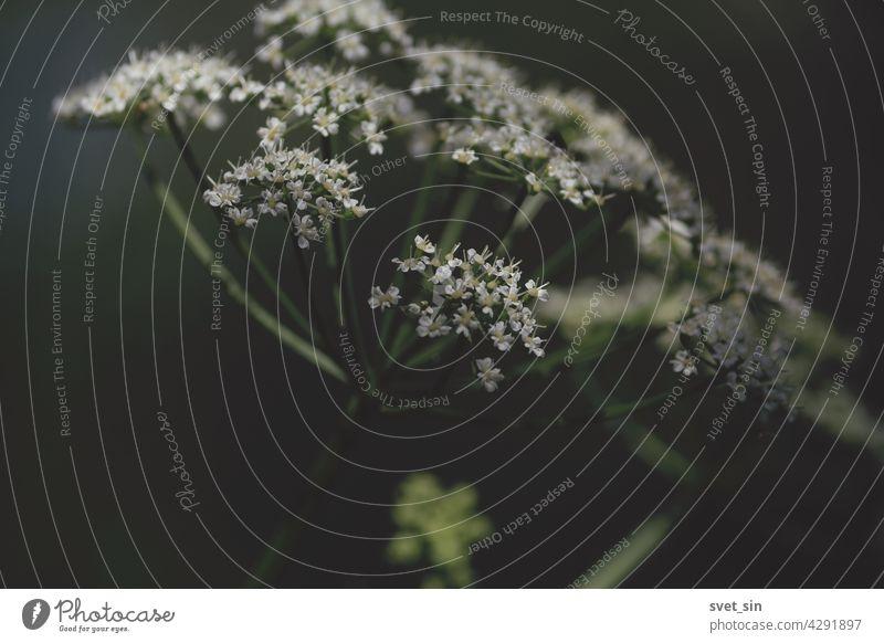 Aegopodium podagraria, Geißfuß, Gewöhnlicher Giersch, Giersch. Weiße Blüten der blühenden Schirmpflanze  im Freien im Sonnenlicht. Blume weiß Licht Regenschirm