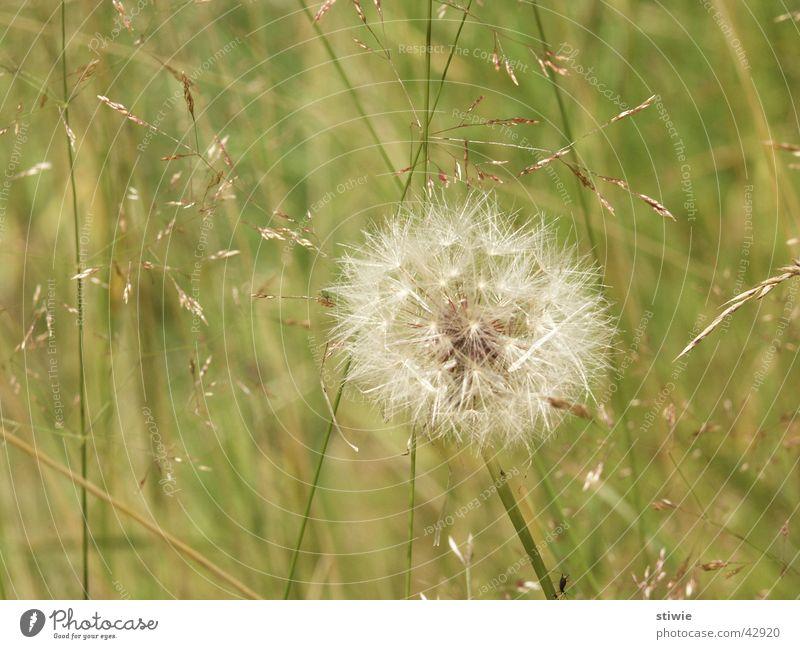pusteblume Blume grün Pflanze Sommer Herbst Blüte Gras Wind Rasen Löwenzahn