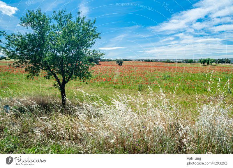 Rote Mohnblumen in einem Feld, Frühling Hintergrund kastilla la mancha Spanien schön Schönheit Blütezeit Farbe Landschaft dekorativ Umwelt Flora geblümt Blume