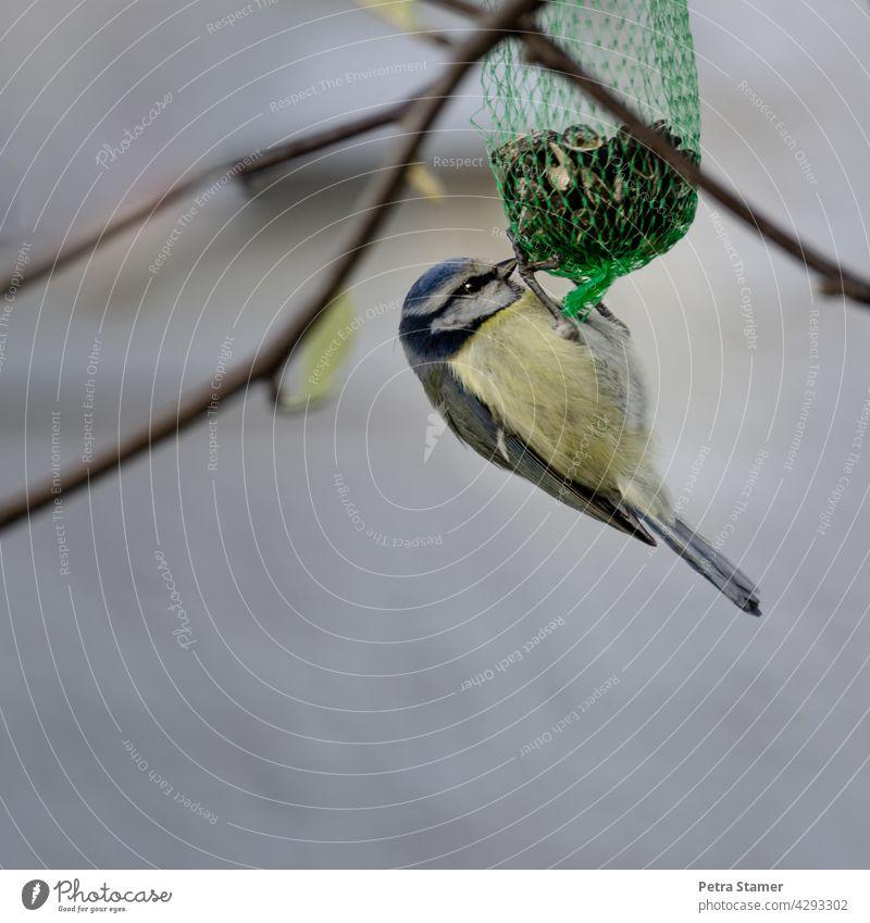 Blaumeise hängend am Futterbeutel Meisen Vogel Tier Wildtier gelb blau Nahrung Nahrungsaufnahme Außenaufnahme Zweige Ganzkörperaufnahme niemand Menschenleer