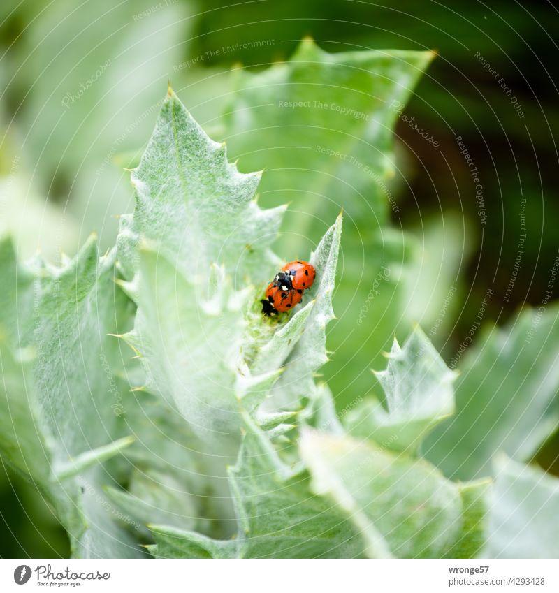 2 Marienkäfer haben Spaß im grünen Sommer Blätter Blattgrün Vermehrung Fortpflanzung Fortpflanzung in der Tierwelt Käfer Insekten Natur Tierpaar Außenaufnahme