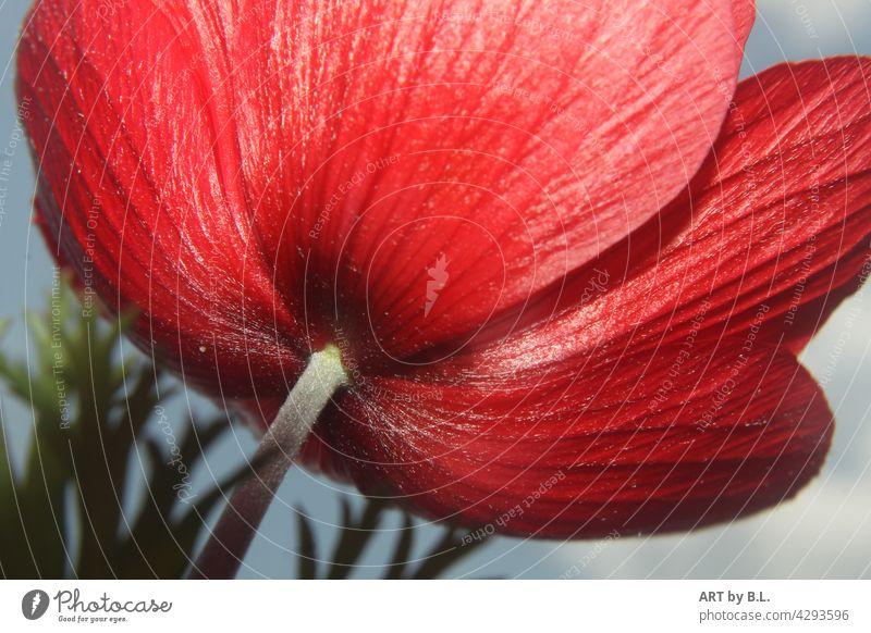 Rückansicht einer roten Anemone blume blüte anemone rückansicht feuerrot natur blütenblätter adern aderung fasern blumig nahaufnahme