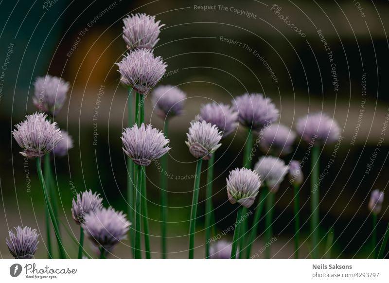 dekorative Zwiebel im Garten. Ziergarten Pflanze, große runde lila Blume Nahaufnahme, blühende Zwiebeln purpur Gartenarbeit Lauch Eröffnung Blütenstand